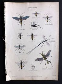 Richardson 1862 Hand Col Print. Australian Saw-Fly, Cockroach Fly, Spider Wasp